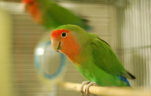 love-bird-in-a-cage
