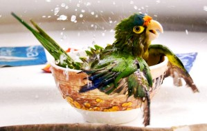 Jacquille the parrot takes a bath in a tea cup, Costa Rica - Apr 2010